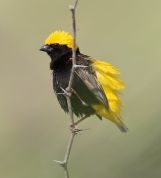 Yellow-crowned Bishop (Euplectes afer) ©WikiC