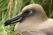 Light-mantled Albatross (Phoebetria palpebrata) ©WikiC