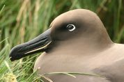 Light-mantled Albatross (Phoebetria palpebrata) ©WikiC