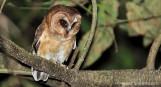 Unspotted Saw-whet Owl (Aegolius ridgwayi) ©Knut Eisermann - Macaulay Library