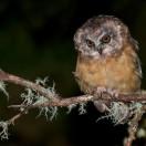 Unspotted Saw-whet Owl (Aegolius ridgwayi) Juvenile ©Chris Jimenez - Macaulay Library