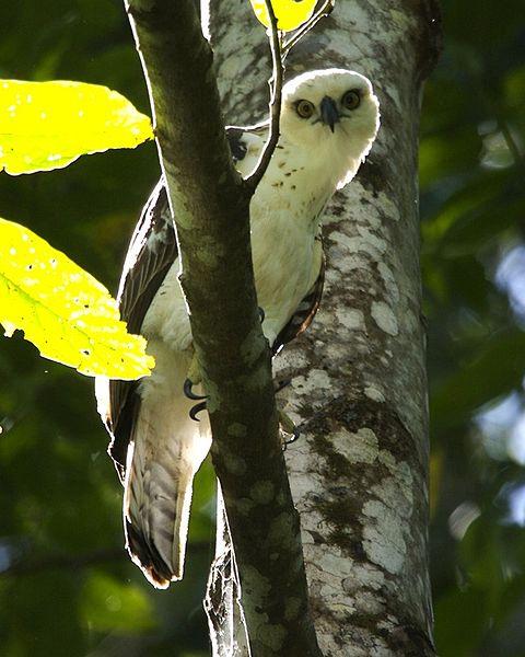 Sulawesi Hawk-Eagle (Nisaetus lanceolatus) ©WikiC