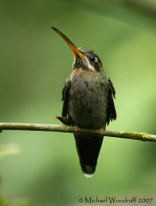 Band-tailed Barbthroat (Threnetes ruckeri) by Michael Woodruff