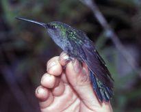 Napo Sabrewing (Campylopterus villaviscensio) ©WikiC