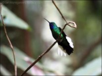 White-tailed Sabrewing (Campylopterus ensipennis) by Ian