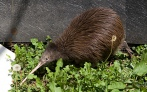 North Island Brown Kiwi (Apteryx mantelli) ©Smithsonian Natl Zoo