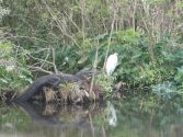 Gator and Egret at Gatorland by Lee