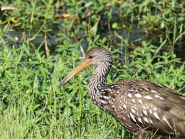 The Disappearing Limpkin