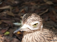 Spotted Thick-knee (Burhinus capensis) by Lee at Jax Zoo
