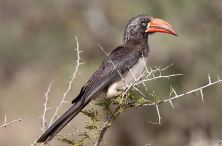 Crowned Hornbill (Lophoceros alboterminatus) ©WikiC