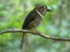 Short-legged Ground Roller (Brachypteracias leptosomus) ©WikiC