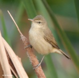 Blunt-winged Warbler (Acrocephalus concinens) ©WikiC