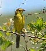 Dark-capped Yellow Warbler (Iduna natalensis) ©WikiC