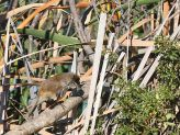 Lesser Swamp Warbler (Acrocephalus gracilirostris) ©WikiC