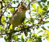 Melodious Warbler (Hippolais polyglotta) ©WikiC