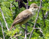 Nightingale Reed Warbler (Acrocephalus luscinius) ©WikiC