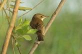 Oriental Reed Warbler (Acrocephalus orientalis) by MAMuin