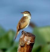 Oriental Reed Warbler (Acrocephalus orientalis) ©WikiC