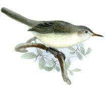 Rodrigues Warbler (Acrocephalus rodericanus) ©Drawing WikiC