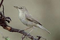 Sykes's Warbler (Hippolais rama) by Nikhil Devasar
