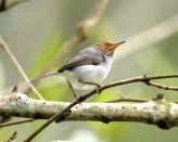 Ashy Tailorbird (Orthotomus ruficeps) ©WikiC