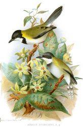 Black-capped Apalis (Apalis nigriceps) ©Drawing WikiC
