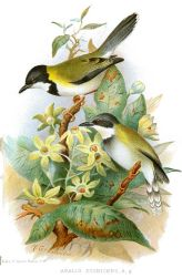 Black-capped Apalis (Apalis nigriceps) ©Drawing WikiC