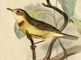 Burnt-necked Eremomela (Eremomela usticollis) ©Drawing WikiC