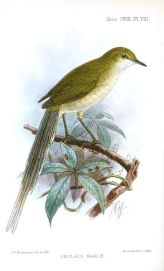Green Longtail (Urolais epichlorus) ©Drawing WikiC