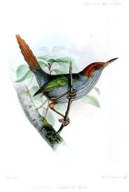 Grey-backed Tailorbird (Orthotomus derbianus) ©WikiC