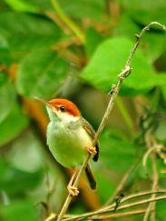 Rufous-tailed Tailorbird (Orthotomus sericeus) ©WikiC