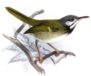 White-eared Tailorbird (Orthotomus cinereiceps) ©Drawing WikiC