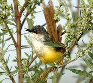 Yellow-bellied Prinia (Prinia flaviventris) by Nikhil Devasar