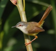 Yellow-bellied Prinia (Prinia flaviventris) ©