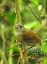 Ashy-headed Babbler (Malacocincla cinereiceps) ©WikiC