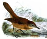 Brown Illadopsis (Illadopsis fulvescens) ©Drawing WikiC