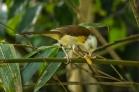 Collared Babbler (Gampsorhynchus torquatus) ©WikiC