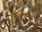 David's Fulvetta (Alcippe davidi) ©Planet of Birds