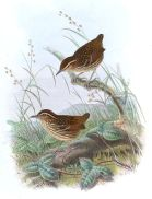 Eyebrowed Wren-Babbler (Napothera epilepidota) ©Drawing WikiC