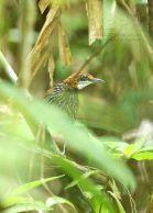 Falcated Wren-Babbler (Ptilocichla falcata) ©WikiC