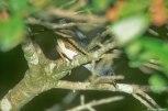 Brasilia Tapaculo (Scytalopus novacapitalis) by AGrosset
