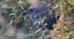Diademed Tapaculo (Scytalopus schulenbergi) ©Neotropical Birds