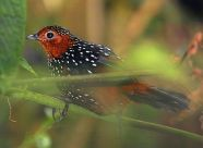 Ocellated Tapaculo (Acropternis orthonyx) ©WikiC