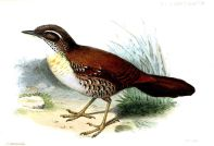 Rusty-belted Tapaculo (Liosceles thoracicus) ©Drawing WikiC