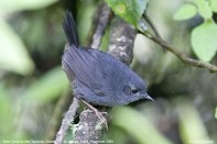 Serra do Mar Tapaculo (Scytalopus notorius) by
