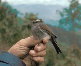 Avian And Attributes – CrownedI