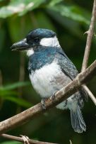 Black-breasted Puffbird (Notharchus pectoralis) WikiC