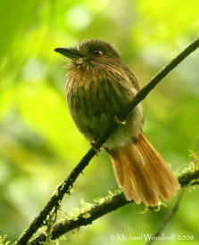 White-whiskered Puffbird (Malacoptila panamensis) by Michael Woodruff