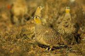Crowned Sandgrouse (Pterocles coronatus) ©WikiC