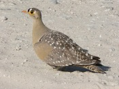 Double-banded Sandgrouse (Pterocles bicinctus) by kudu©©